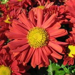 Red_chrysanthemum