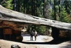 sequoia-tunnel