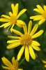 marsh-ragwort-senecio-aquaticus-js-small
