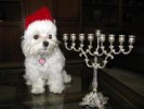 spiritually_confused_maltese